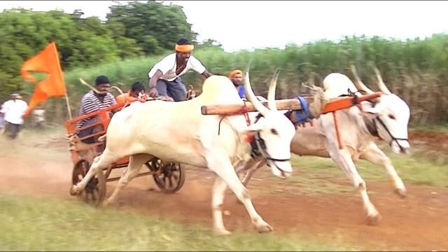 Khillari vaca ganado raza