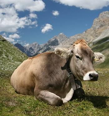 marron suizo