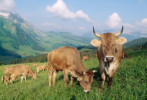 14 Cosas que deberías saber sobre las vacas raza Pardo Suizo