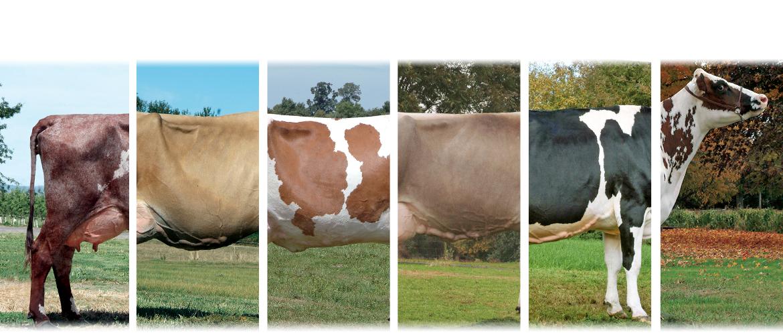razas de ganado en autralia