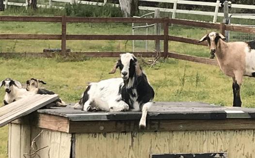 como crear un negocio de cabras