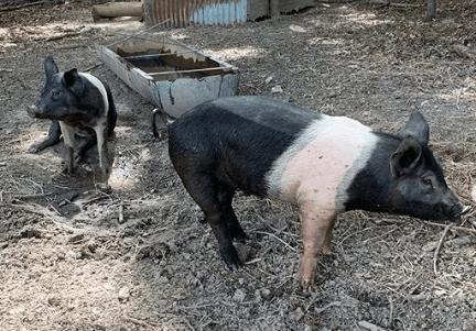 como criar cerdos para negocio