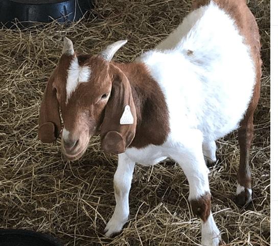 guia completa para criar cabras