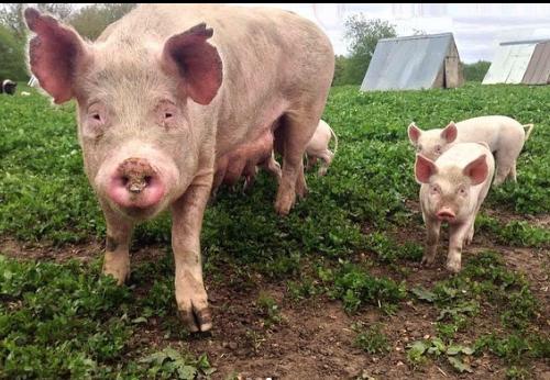 guia completa para criar cerdos