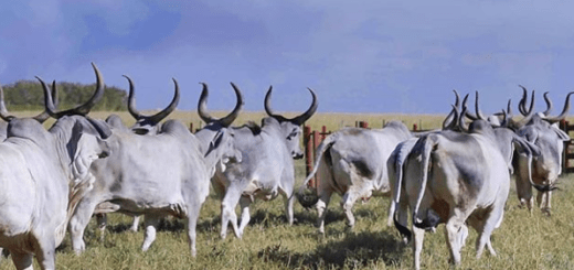 como afrontar temporadas de sequía en la ganadería bovina