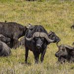 imagen fotografia de un bufalo