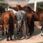 razas de caballos en el mundo