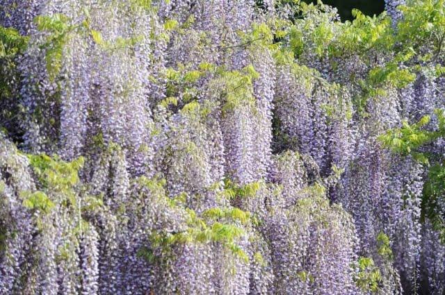 glicina y wisteria Kasuga Taisha Shrine Manyo
