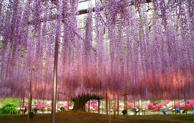 degradado de wisterias en Ashikaga Flower Park