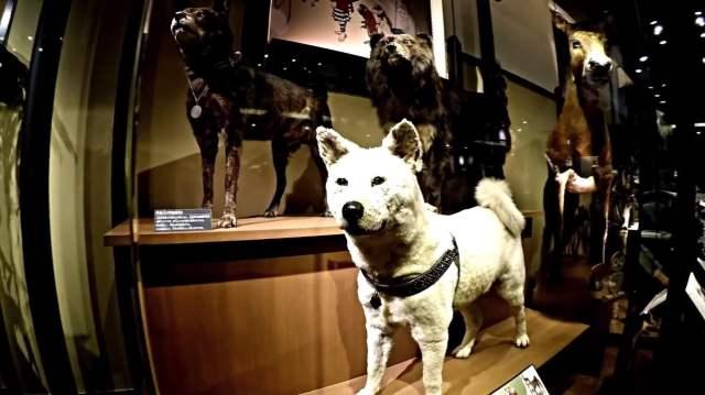 museo nacional ueno hachiko jiro fotos de hachi