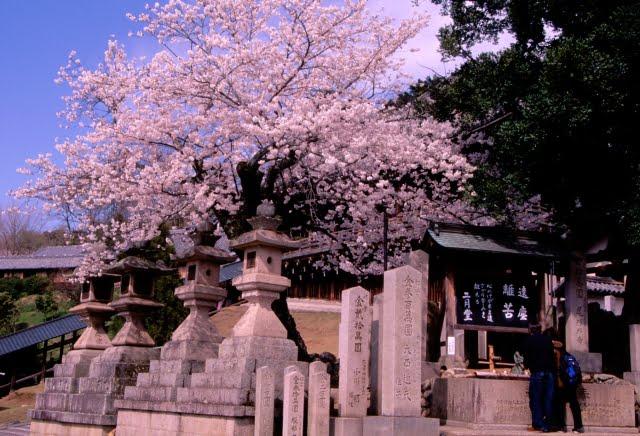 Flores del cerezo del Templo Todaiji en Nara cherryblossom