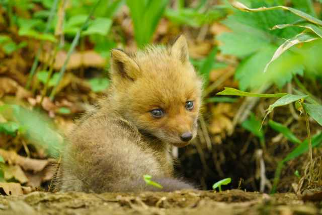 panese fox animales en japones