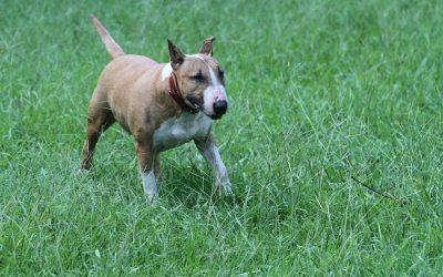 Perros Bull Terrier alimentación, cuidados, características