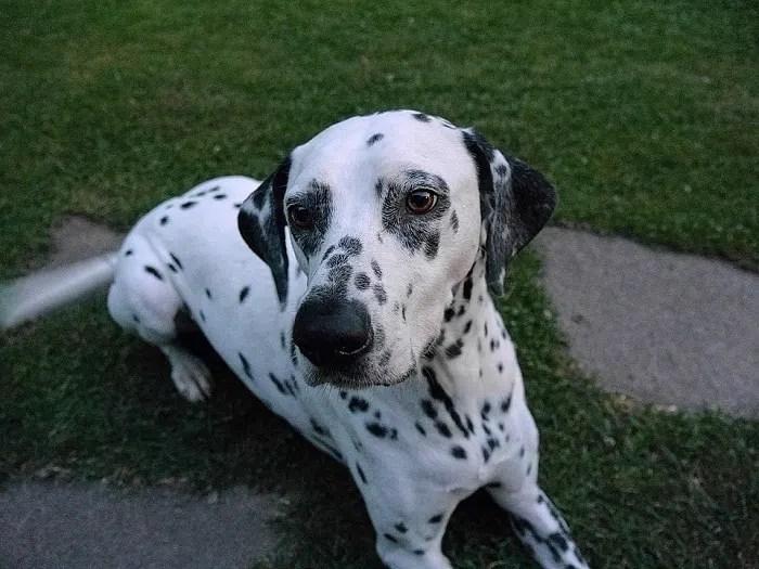 perros dálmata
