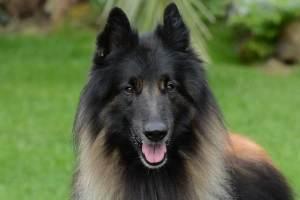perros pastor belga