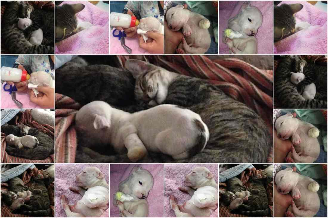 Conozca a Nicolas el Pit Bull de tres patas adoptado por gatos después de que su madre trató de comerlo