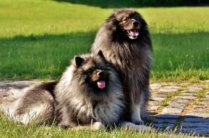 perros Keeshond