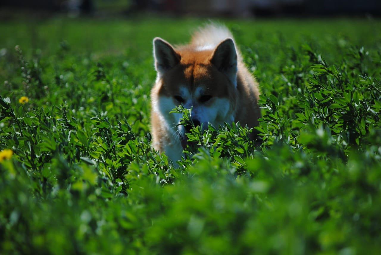 perros akita