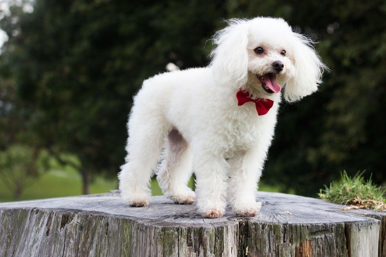 perros poodle