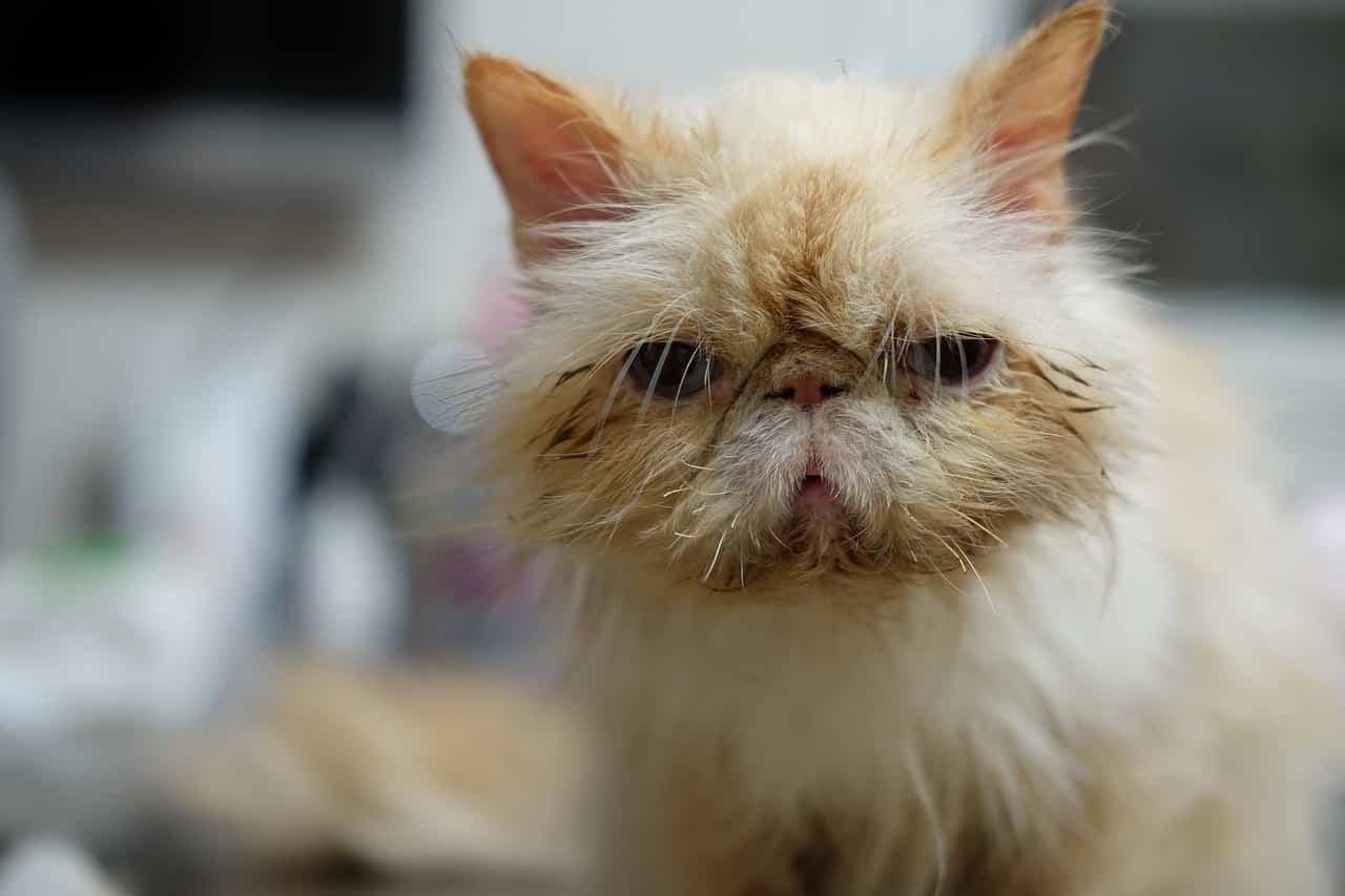 Infecciones respiratorias superiores en gatos
