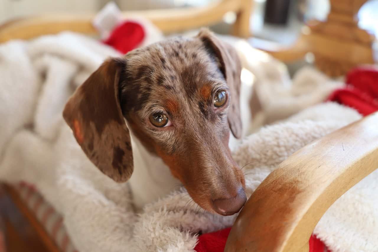 Por qué los perros tiemblan mucho