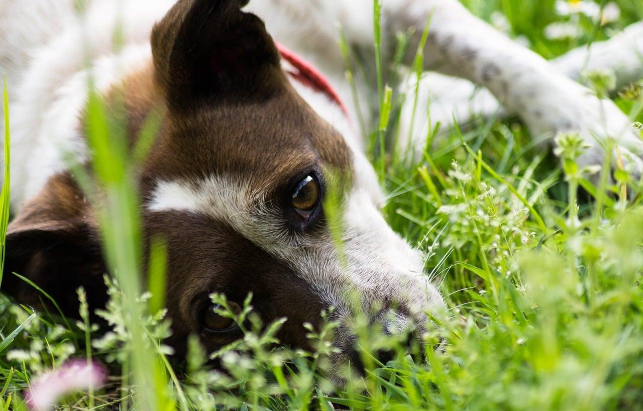 Plantas toxicas para perros