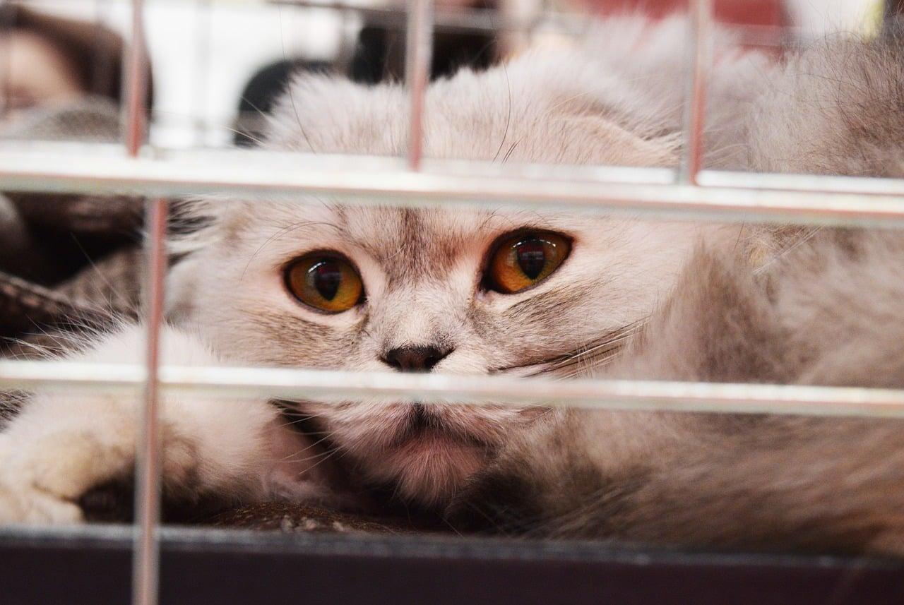 Virus de Inmunodeficiencia Felina (VIF)