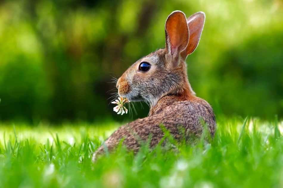 Cómo limpiar las orejas de un conejo