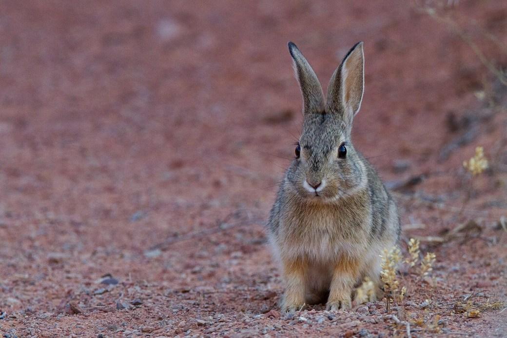 Porqué los conejos orinan blanco
