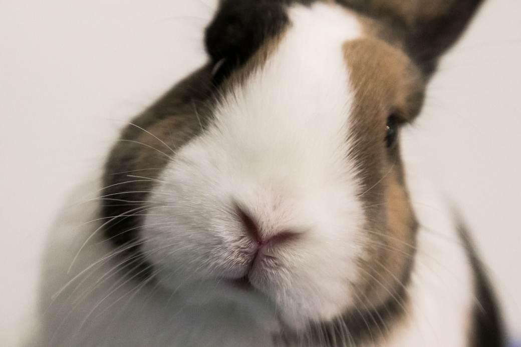 Por qué mi conejo orina sangre
