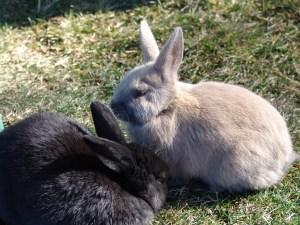 Rabia en conejos