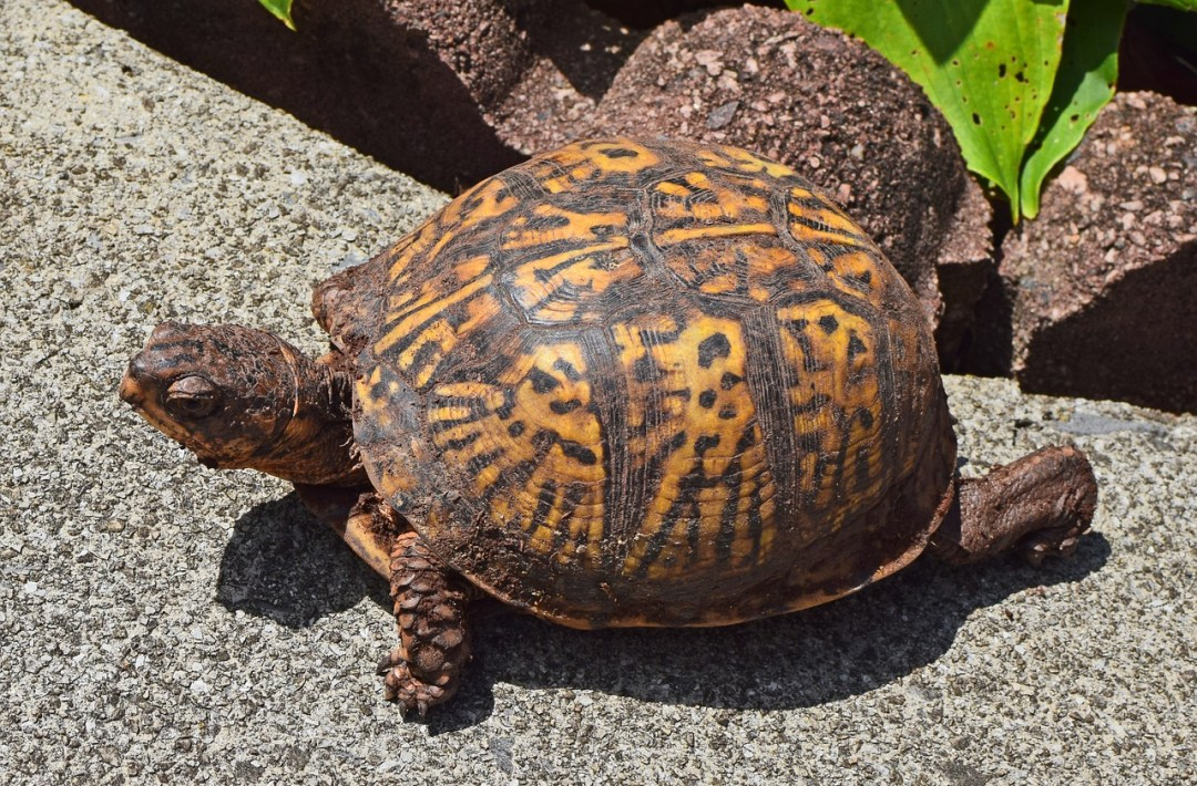 Qué comen las tortugas de tierra