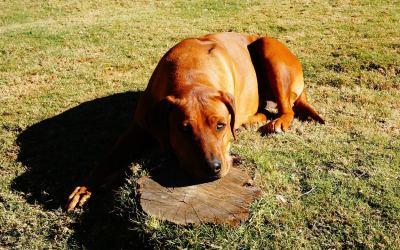 Por qué suspiran los perros