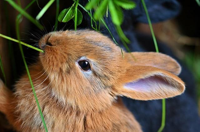 porque mi conejo hace pipi blanca