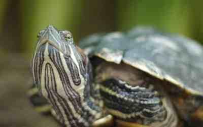 Cómo respiran las tortugas