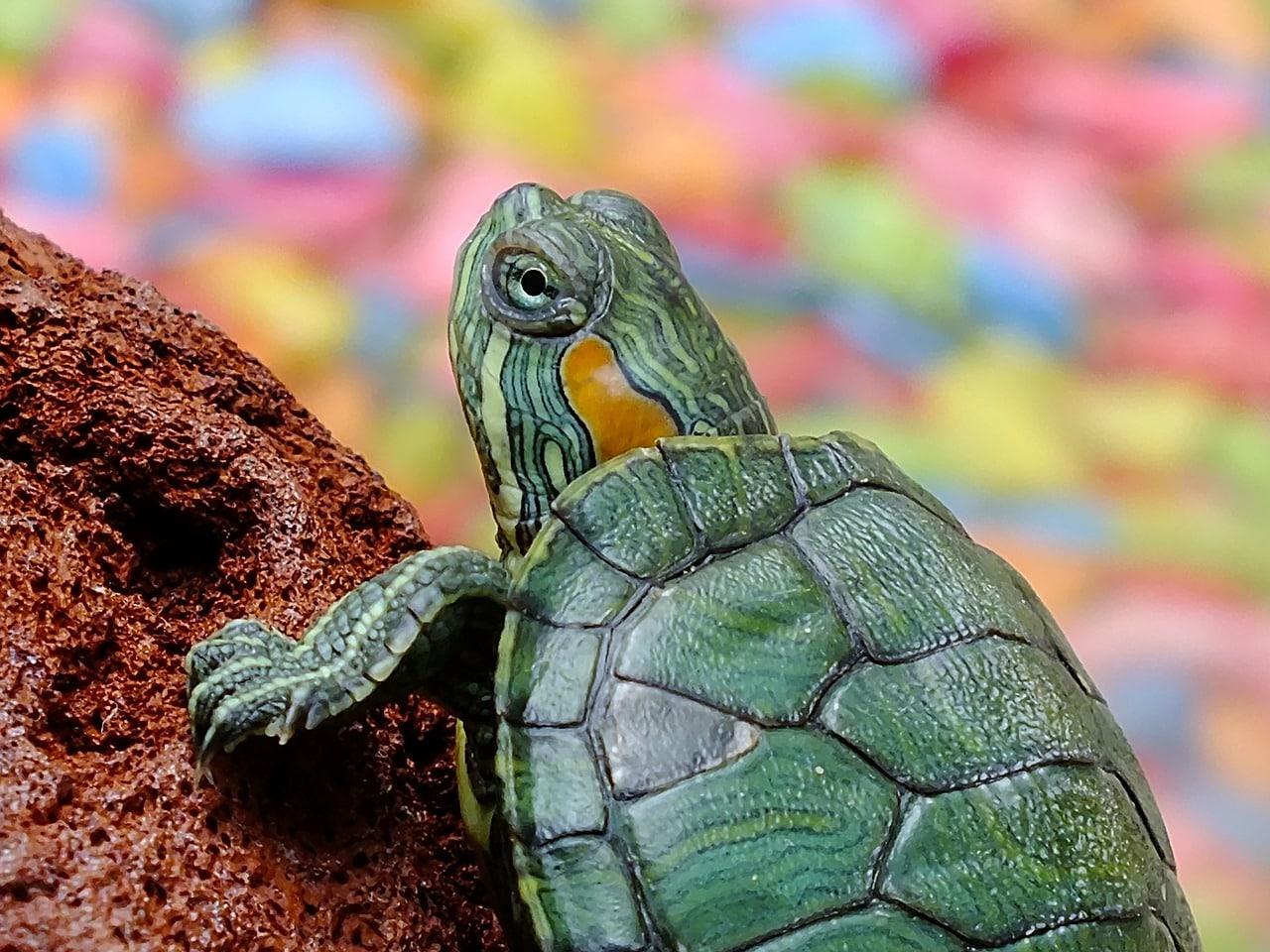 Las tortugas tienen dientes