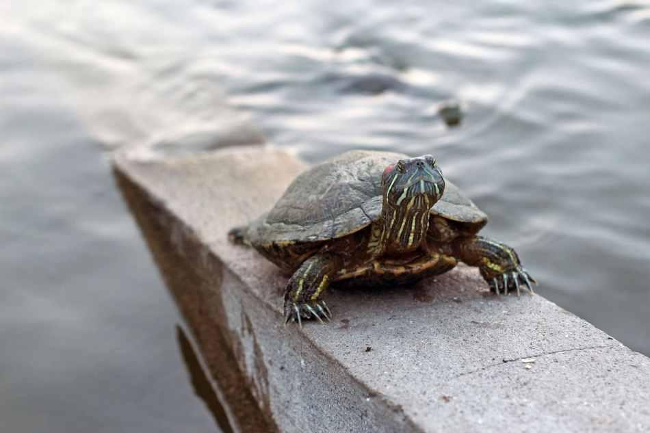 Las tortugas comen en invierno
