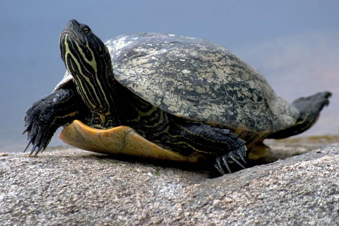 Todo sobre Tortugas domesticas características, tipos, cuidados, curiosidades