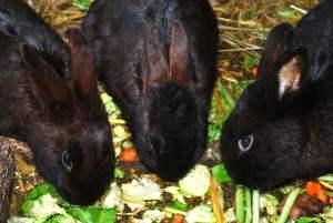 Los conejos pueden comer perejil