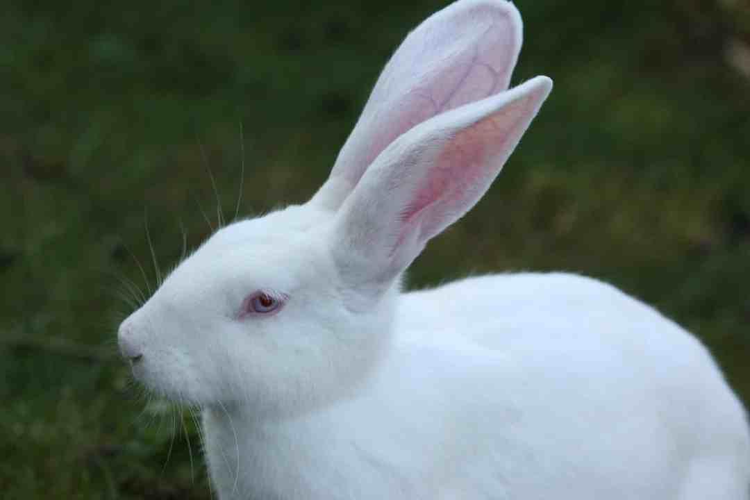 Sentido de la audición de los conejos