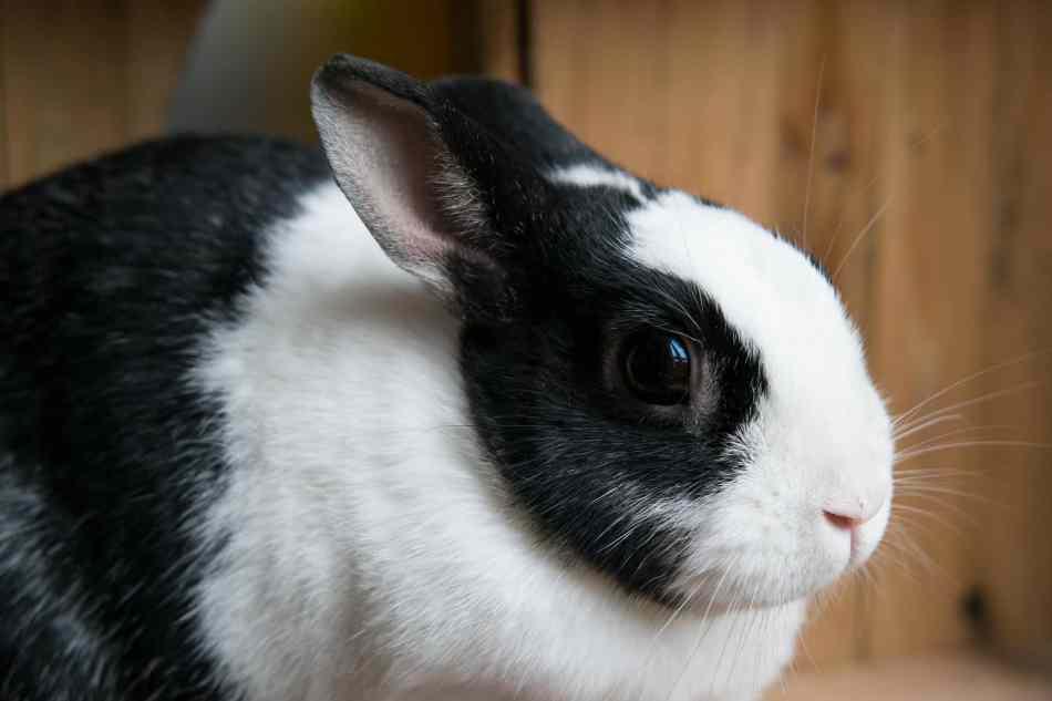 Sentido de la vista de los conejos