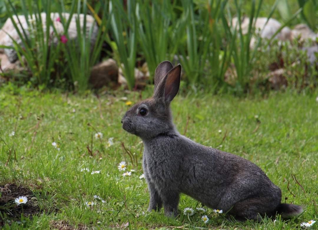 Sentido del tacto de los conejos