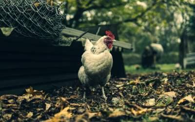 las gallinas vuelan