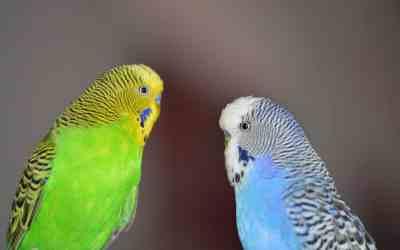 los periquitos hablan