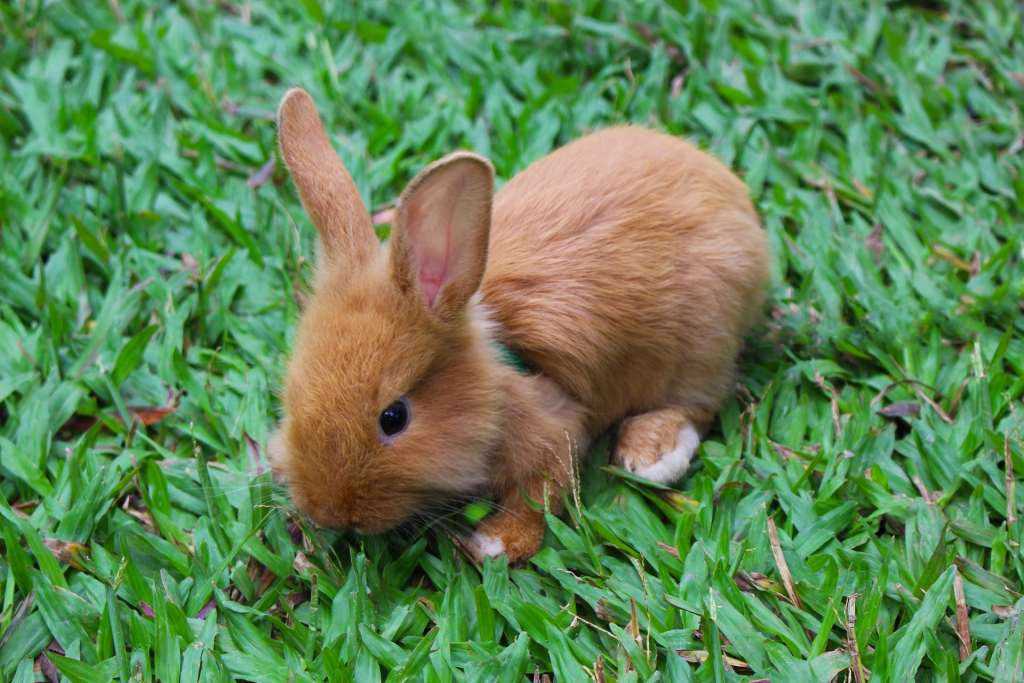 por qué mi conejo cojea