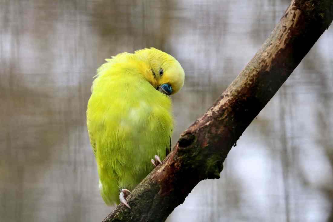 Qué comen los canarios