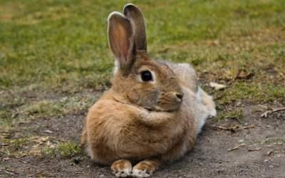 qué comen los conejos salvajes