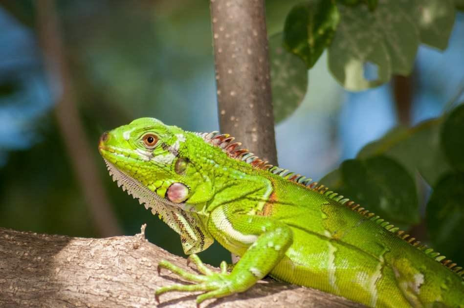 comportamiento de las iguanas verdes domesticas