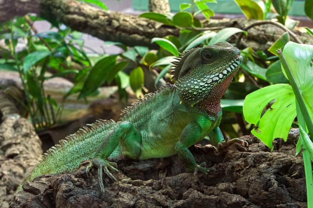 las iguanas comen cilantro