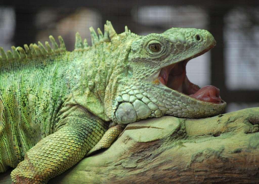 Las iguanas muerden